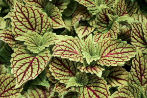 Coleus_Golden_Dreams-3